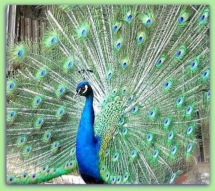 Il re pavone mafaldina - Immagini pavone a colori ...